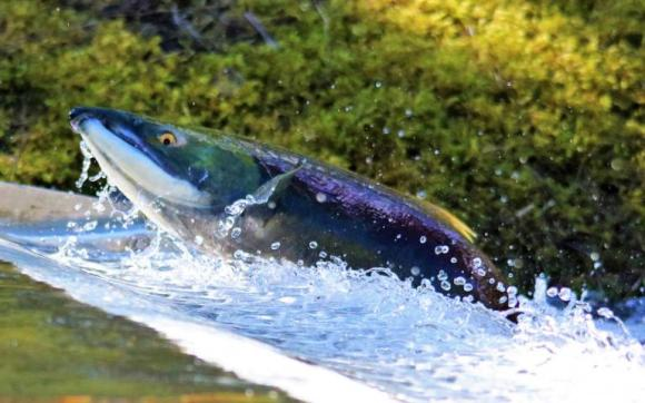 SIERRA Salmon WB