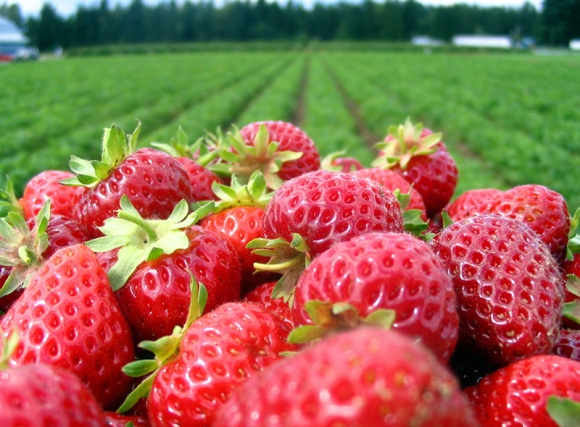 NC-Strawberry-Grower
