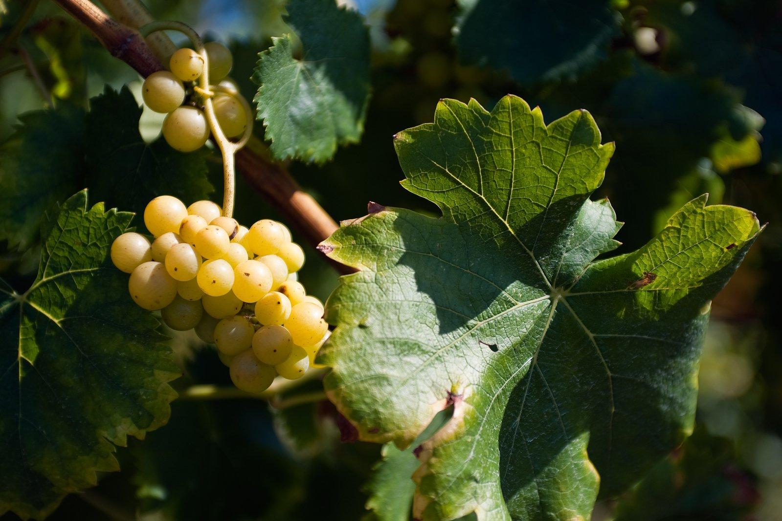 white-grapes-on-vine-1318682